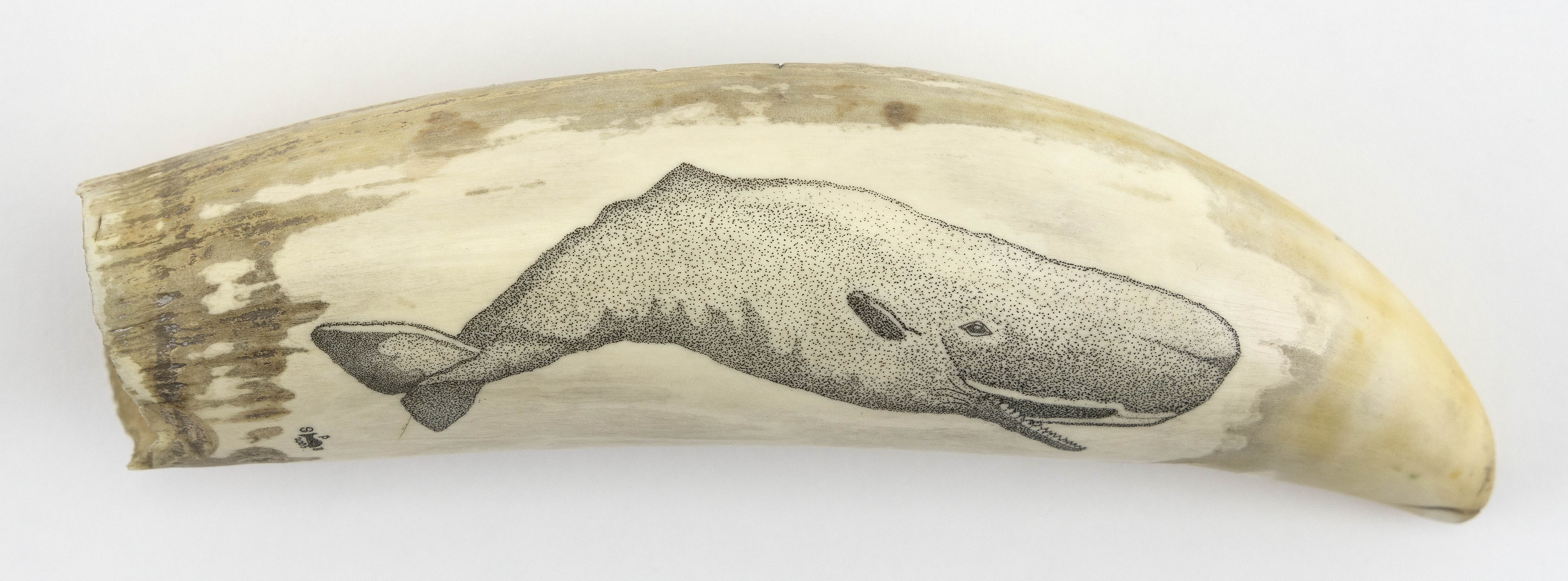 """* ENGRAVED WHALE'S TOOTH Contemporary Length 6""""."""